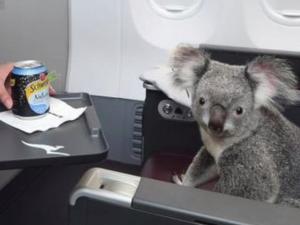 Koalas On A Plane Is As Adorable As It Sounds