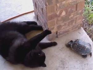 Cat Loves To Tease Confused Turtle