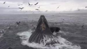 Whale Feeding Frenzy Caught On Camera