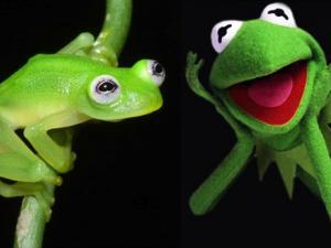 Newly Discovered Frog Species Looks Just Like Kermit