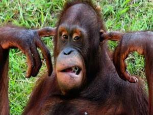 Orangutan Granted Human Right To Freedom By Argentine Court