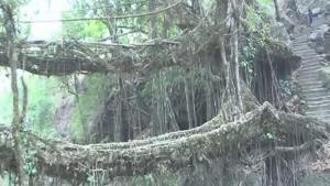 Discover The Living Root Bridge In Indias Forests