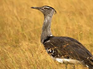Royals Granted Hunting Permits For Endangered Bird