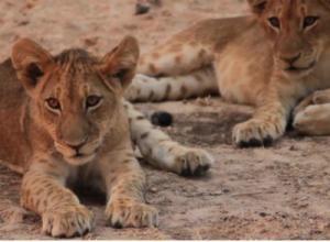 Wild Lion Cubs