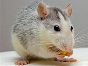 Sneaky Man Releases Rat In Restaurant To Get Free Meal