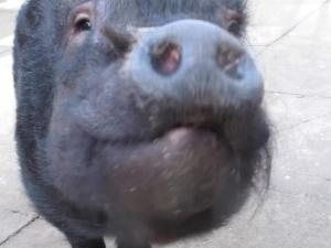 Meet Frances Bacon The Drunk Pig Banned From The Pub