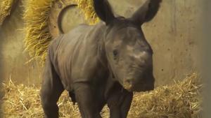 Rare Birth Of Baby Rhino Captured On Camera