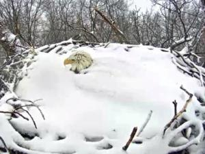 Nesting Bald Eagle Covered In Snow Up To Its Neck