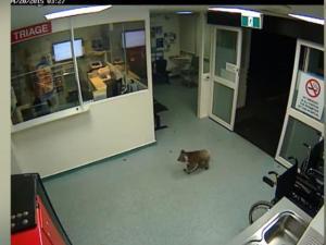Koala Admits Himself To Er