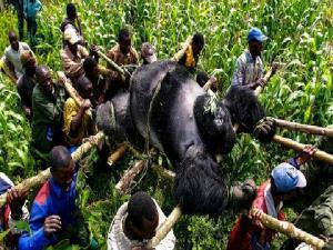 Mountain Gorilla Extinction And Virunga