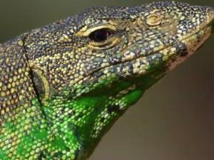 Invasive Lizards In Florida Are Eating Peoples Cats