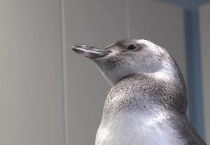 Penguin Chick Is First Ever Conceived Via Artificial Insemination