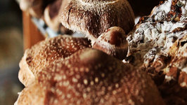 Primordia Mushrooms