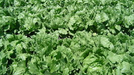 Have Fun Picking And Plating Lettuce  Learn How To Grow It In Your Back Yard