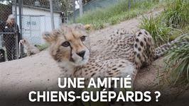 Ce petit guépard découvre avec curiosité un chien !