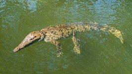 Black River Safari Jamaica - In search of the Wild Crocodile