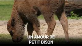 Trop mignons, les bébés bisons !