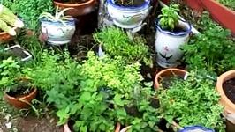 How to plant Basil