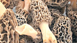 Morel Mushrooms - Tips and Info