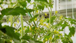 Greenhouse Growing Bumblebee Polination