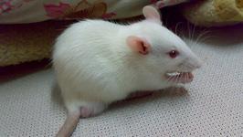 Doughnut Mice