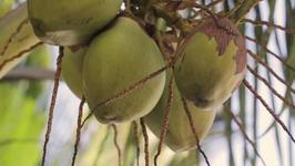Coconut Industry May Be Pushed to the Brink