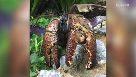 This Crab Pinches Harder Than Most Animals Can Bite