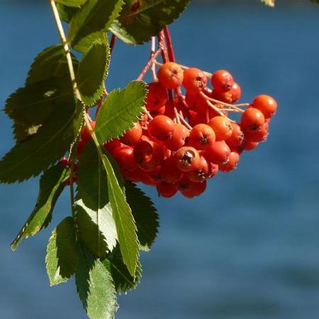 Heteromeles Arbutifolia Fruit