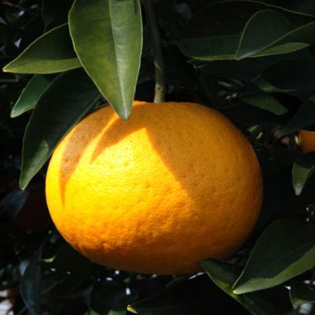Citrus Kawanonatsudaidai Fruit