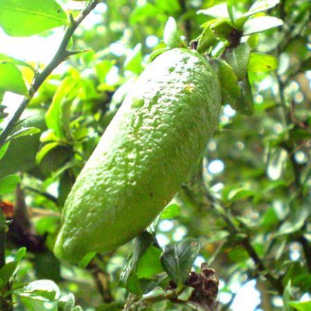 Citrus Australasica Green Fruit