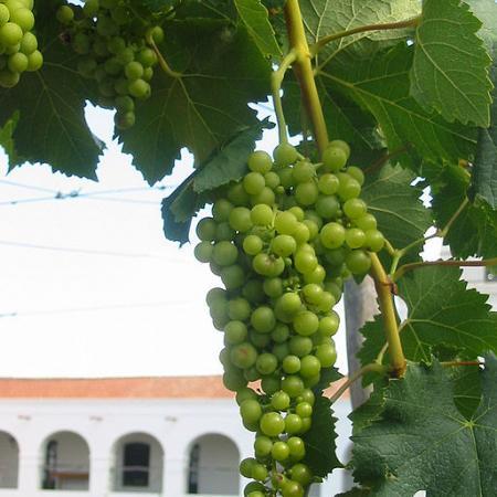 Torrontes grape