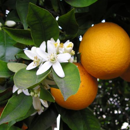 Orange Bloss