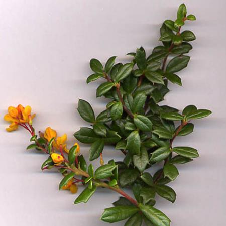 Berberis Darwinii Shoot
