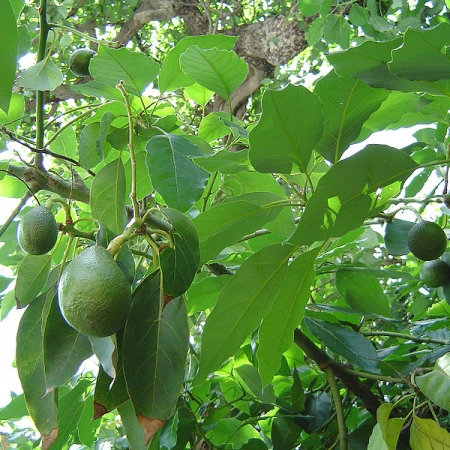 Avocado Fruit and foliage