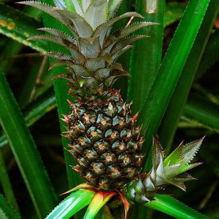 Ananas Cosmosus Whaldener Endo