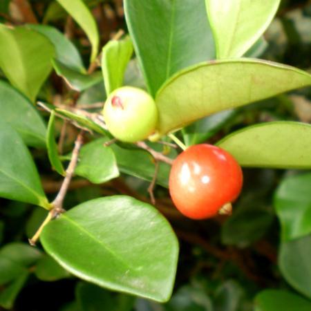 Eugenia Carissoides Fruit