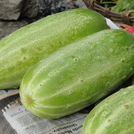 Huge Cucumbers