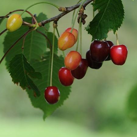 Sauerkirschenfrucht Prunus cerasus