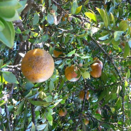 Citrus Aurantium Chinotto