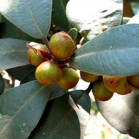 Ficus Platypoda