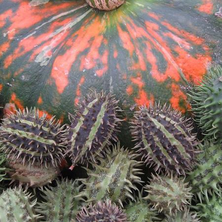 Blumenschau Stachelgurke