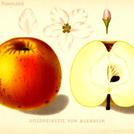 Blenheim Orange