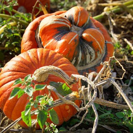 Cucurbita Pumpkins