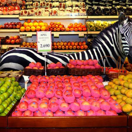 Zebra Devours Fruits