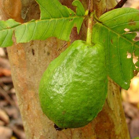 Guava Vietnamese