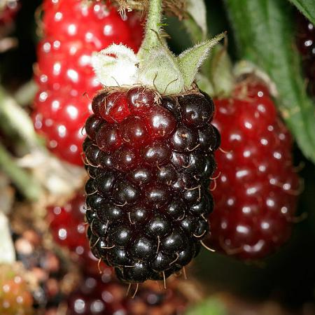 Boysen Berries