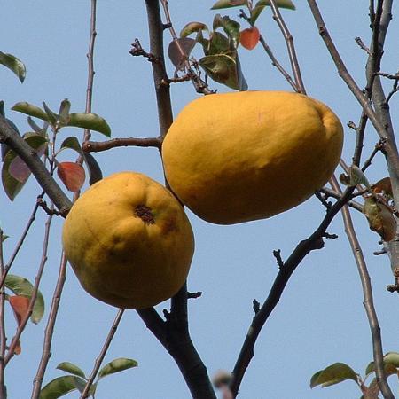 Apanese Karin Fruits